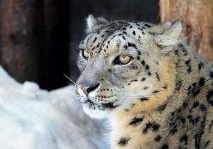 snieginis-leopardas.LZS_-300x210