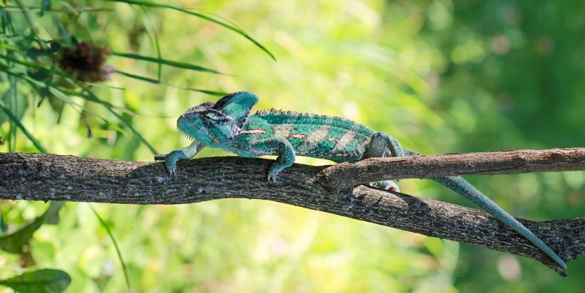 chameleonas_did-min